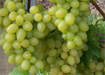 Vinařství Svoboda - výroba a prodej vína